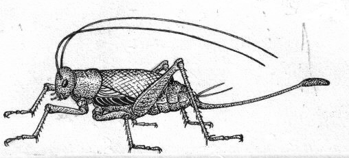 Cricket illustration courtesy Wikimedia Commons